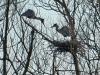 Aironi su nido