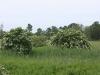 Arbusti di Sanguinella