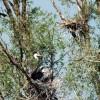 Airone Cenerino al nido