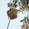 Pendolino al nido